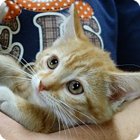 Domestic Shorthair Kitten for adoption in Greenfield, Indiana - Emery