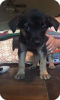 German Shepherd Dog/Rottweiler Mix Puppy for adoption in Victorville, California - Darcy's girls