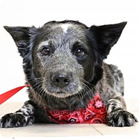 Adopt A Pet :: Concho D161614: PENDING ADOPTION - Edina, MN