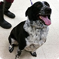 Labrador Retriever/Cattle Dog Mix Dog for adoption in Rootstown, Ohio - Hector