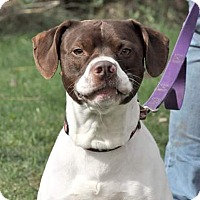 German Shorthaired Pointer Mix Dog for adoption in Lisbon, Ohio - Spanky- SPONSORED