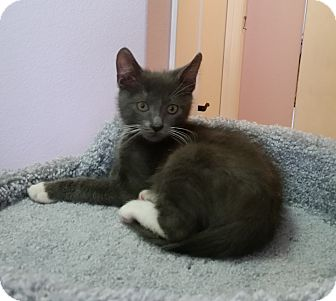 Domestic Mediumhair Kitten for adoption in Phoenix, Arizona - Zane