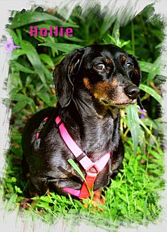 Dachshund Dog for adoption in Green Cove Springs, Florida - Hollie