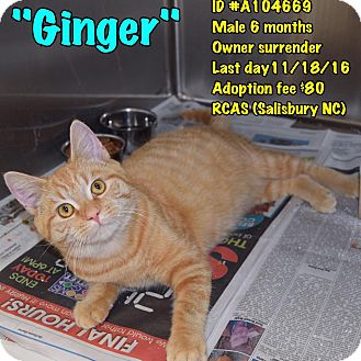 Domestic Shorthair Kitten for adoption in Salisbury, North Carolina - Ginger