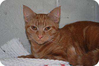 Domestic Shorthair Cat for adoption in New Castle, Pennsylvania - Stella