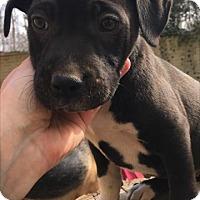 Adopt A Pet :: Baby Thumper - Rockville, MD