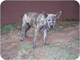 Shepherd (Unknown Type)/Boxer Mix Dog for adoption in Phoenix, Arizona - Fiesta