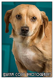 Dachshund Mix Dog for adoption in Owensboro, Kentucky - Atlantis