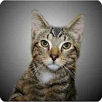 Domestic Shorthair Cat for adoption in Montgomery, Illinois - Carlisle