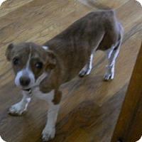 Adopt A Pet :: LuLu - dewey, AZ