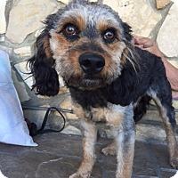 Adopt A Pet :: Billy - Canoga Park, CA