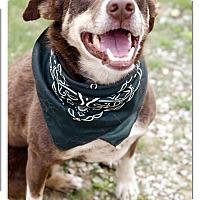 Adopt A Pet :: Tyke Shee lovely gal - Sacramento, CA