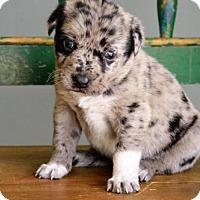 Adopt A Pet :: Velvet - San Antonio, TX