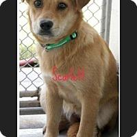 Adopt A Pet :: Scarlett - Bernardston, MA