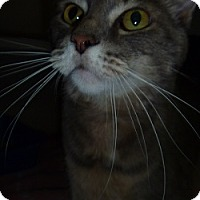 Adopt A Pet :: Mr. Bandit - Hamburg, NY