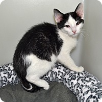 Adopt A Pet :: Lightening - Wheaton, IL