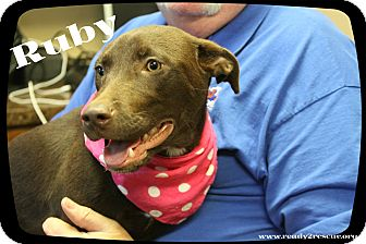 Labrador Retriever Mix Puppy for adoption in Rockwall, Texas - Ruby