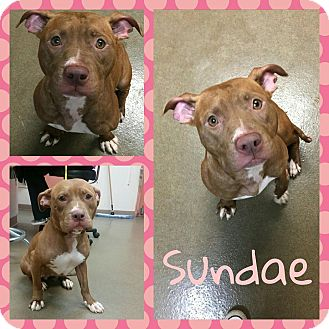 Pit Bull Terrier Mix Dog for adoption in Steger, Illinois - Sundae