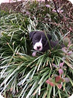 Pit Bull Terrier/Boxer Mix Puppy for adoption in Harrisonburg, Virginia - Olive