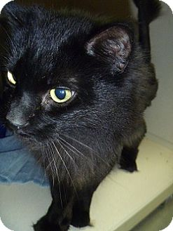 Domestic Longhair Cat for adoption in Hamburg, New York - Shiloh