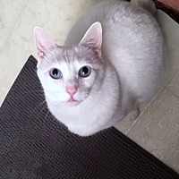 Turkish Angora Cat for adoption in Medford, New Jersey - Lily