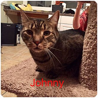 Domestic Shorthair Cat for adoption in Hamilton, New Jersey - JOHNNY