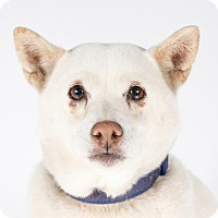 Shiba Inu Dog for adoption in St. Louis Park, Minnesota - Lotus