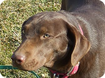 Labrador Retriever Dog for adoption in Carey, Ohio - Lincoln/aspen