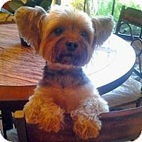 Adopt A Pet :: Lola Bell - North Port, FL