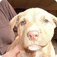 Adopt A Pet :: Heidi - Russellville, AR