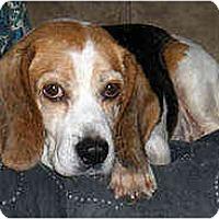 Adopt A Pet :: Prudence - Novi, MI
