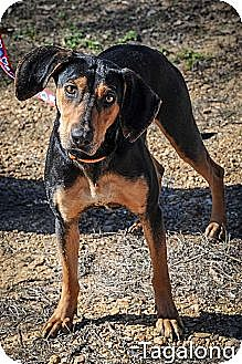 Black and Tan Coonhound Dog for adoption in Jackson, Mississippi - Tagalong