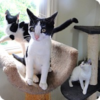 Adopt A Pet :: Kittens need homes - Devon, PA