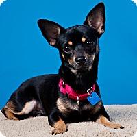 Adopt A Pet :: Paco - Houston, TX