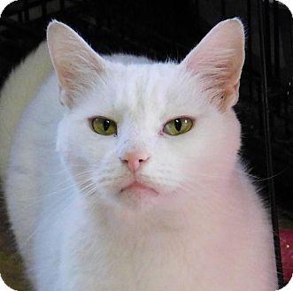 Domestic Shorthair Cat for adoption in Winston-Salem, North Carolina - Oakley