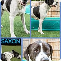 Adopt A Pet :: Saxon - East McKeesport, PA