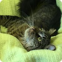 Adopt A Pet :: Pea-Cea - Berlin, CT