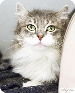 Domestic Longhair Cat for adoption in Shoreline, Washington - Haley