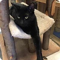Domestic Shorthair Cat for adoption in Leonardtown, Maryland - Benni