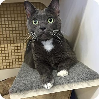 Russian Blue Cat for adoption in Seal Beach, California - Henrietta