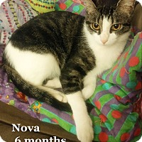 Domestic Shorthair Cat for adoption in Bentonville, Arkansas - Nova