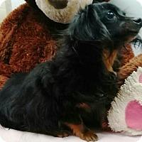 Adopt A Pet :: Bella - Humble, TX