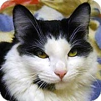 Domestic Shorthair Cat for adoption in Phoenix, Arizona - Charlotte
