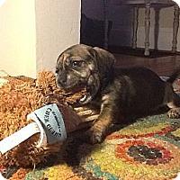 Adopt A Pet :: Darla - Hilliard, OH