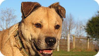 Labrador Retriever/Shepherd (Unknown Type) Mix Dog for adoption in Pleasant Plain, Ohio - Sanchez