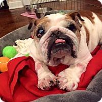 Adopt A Pet :: Pumpkin Muffin - Park Ridge, IL