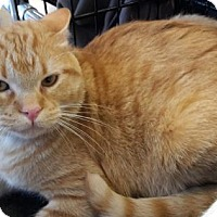 Domestic Mediumhair Cat for adoption in Wagoner, Oklahoma - Flex