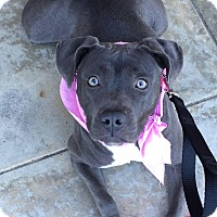 American Pit Bull Terrier/English Bulldog Mix Dog for adoption in Las Vegas, Nevada - Bluebelle