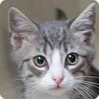 Adopt A Pet :: AA-kitten - Redwood City, CA