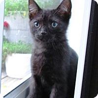 Adopt A Pet :: Inky - Lebanon, PA